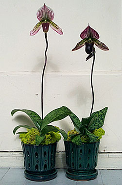 Paphiopedilum collusum hybrid unbloomed - How to care for potted orchids ...