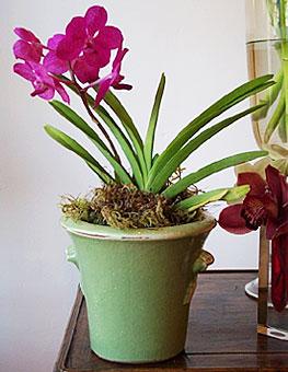 Fuchsia vanda mokara - Vanda orchid care ...